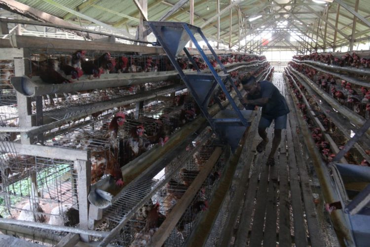 Seorang peternak ayam petelur sedang memberi pakan di kandangnya di Desa Margolestari, Kecamatan Jatiagung, Lampung Selatan, Rabu (1/7). Indeks harga konsumen (IHK) gabungan Lampung mengalami kenaikan tipis dari 104,78 pada Mei 2020 menjadi 104,83 pada Juni 2020 yang membentuk terjadinya inflasi 0,05%. Nilai itu secara dominan dipicu dari kenaikan harga telur ayam dalam sebulan terakhir. LAMPUNG POST/SUKISNO